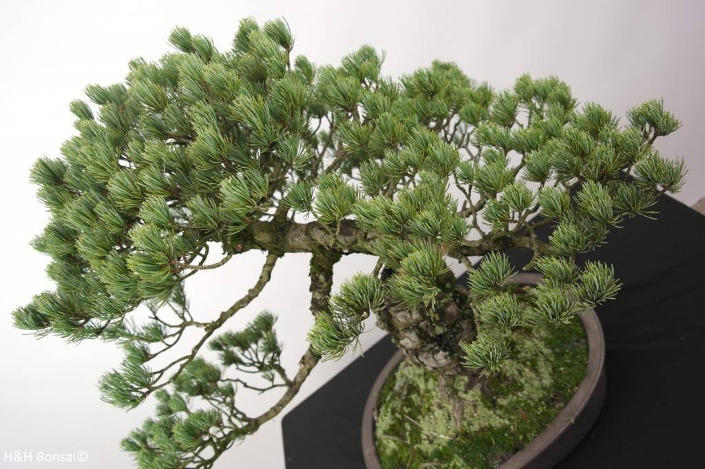 Bonsai Pin blanc du Japon, Pinus penthaphylla, no. 5174