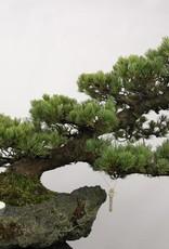 Bonsai Pinus penthaphylla, Japanse witte den, nr. 5177