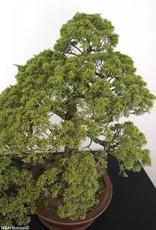 Bonsai Genévier de Chine, Juniperus chinensis itoigawa, no. 5181