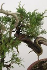 Bonsai Genévier de Chine, Juniperus chinensis itoigawa, no. 5185