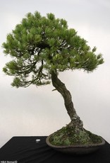 Bonsai Pin blanc du Japon, Pinus parviflora, no. 5258