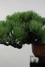 Bonsai Shohin Pinus parviflora, Japanse witte den, nr. 5397