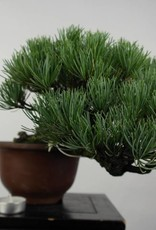 Bonsai Shohin Pin blanc du Japon, Pinus parviflora, no. 5397
