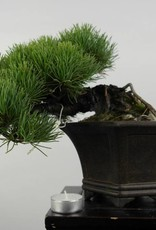 Bonsai Shohin Pin blanc du Japon, Pinus parviflora, no. 5398