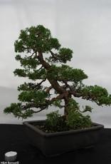 Bonsai Genévier de Chine, Juniperus chinensis, no. 5495