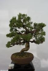 Bonsai Genévier de Chine, Juniperus chinensis, no. 5498
