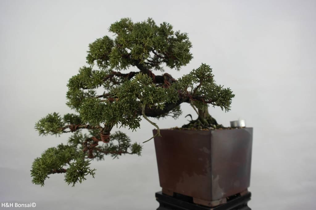 Bonsai Juniperus chinensis, Jeneverbes, nr. 5540