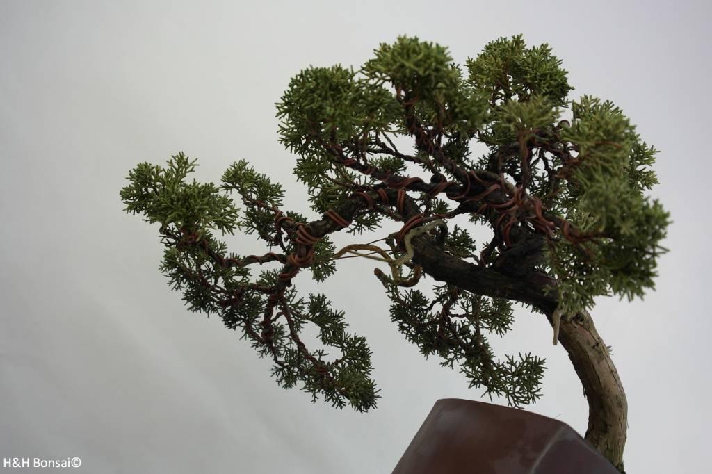 Bonsai Genévier de Chine, Juniperus chinensis, no. 5540