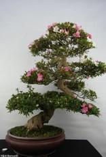 Bonsai Azalea Satsuki Azora, nr. 5683