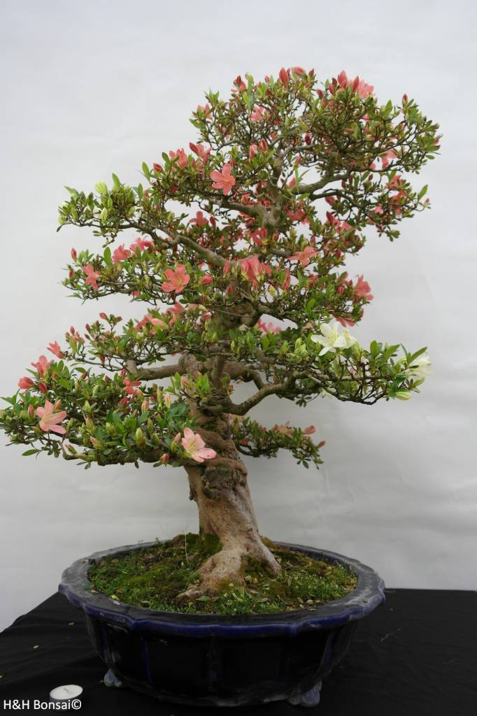 Bonsai Azalea Satsuki Shinkyo, nr. 5684