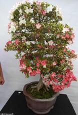 Bonsai Azalée du Japon, Azalea Satsuki Kogetsu, no. 5685