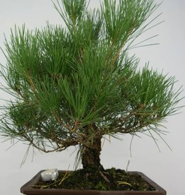 Bonsai Pinus thunbergii, Japanse zwarte den, nr. 5727