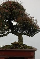Bonsai Trachelospermum asiaticum, Japanse Sterjasmijn, nr. 5107