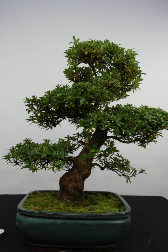 Bonsai Azalea SatsukiJuko no Homare, nr. 5686