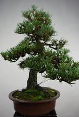 Bonsai Pinus thunbergii kotobuki, Japanse Zwarte den, nr. 5494