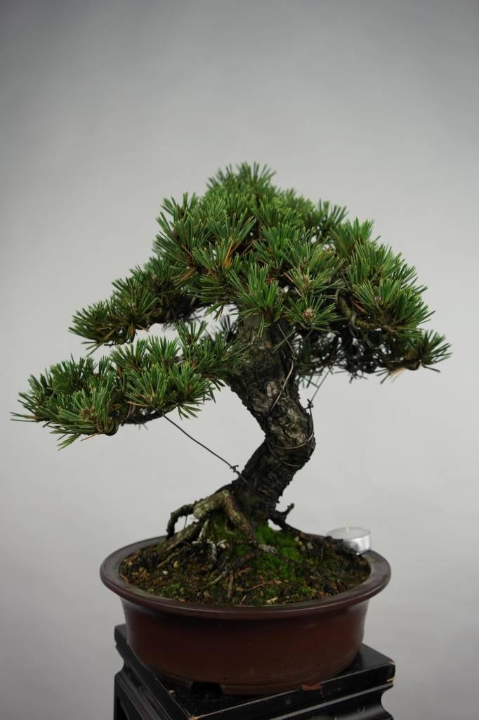 Bonsai Pinus thunbergii kotobuki, Japanse Zwarte den, nr. 5496
