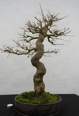 Bonsai Acer palmatum, Japanse esdoorn, nr. 5117