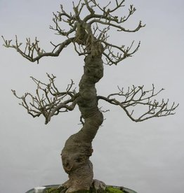 Bonsai Ilex serrata, nr. 5131