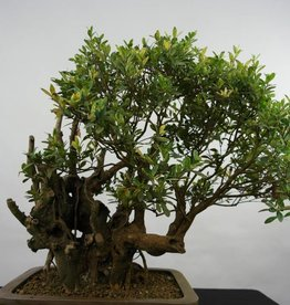Bonsai Syzygium sp. , nr. 5826