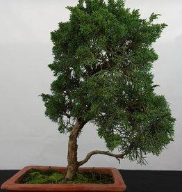 Bonsai Genévrier de Chine, Juniperus chinensis, no. 5835