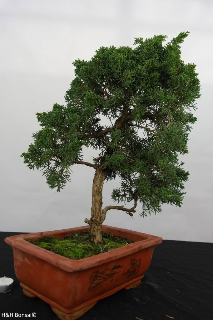 Bonsai Juniperus chinensis, Jeneverbes, nr. 5835
