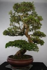 Bonsai Azalée du Japon, Azalea Satsuki Azora, no. 5683