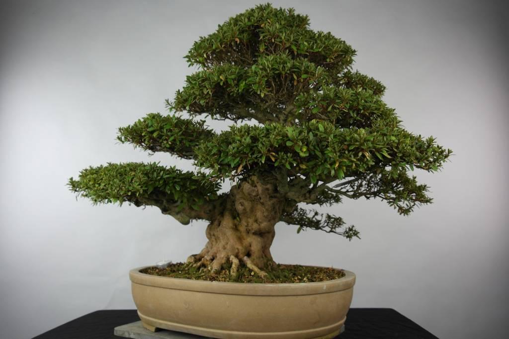 Bonsai Azalée du Japon, Azalea Satsuki Kozan, no. 5202