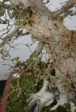 Bonsai Charme de corée, Carpinus coreana, no. 5183