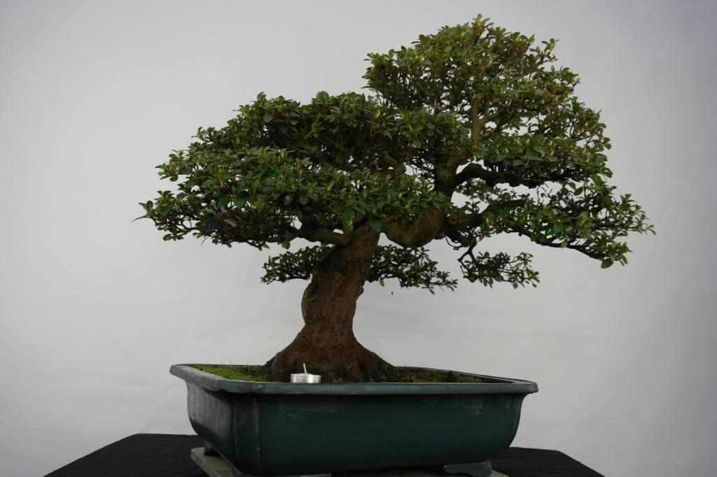 Bonsai Azalea Satsuki Kaho, nr. 5193