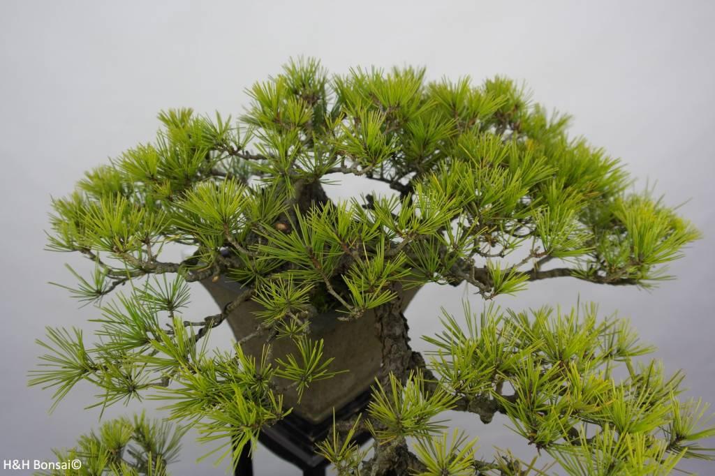 Bonsai Pinus densiflora, Japanse Rode den, nr. 5837