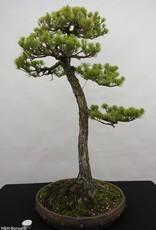 Bonsai Pinus penthaphylla, Japanse witte den, nr. 5838