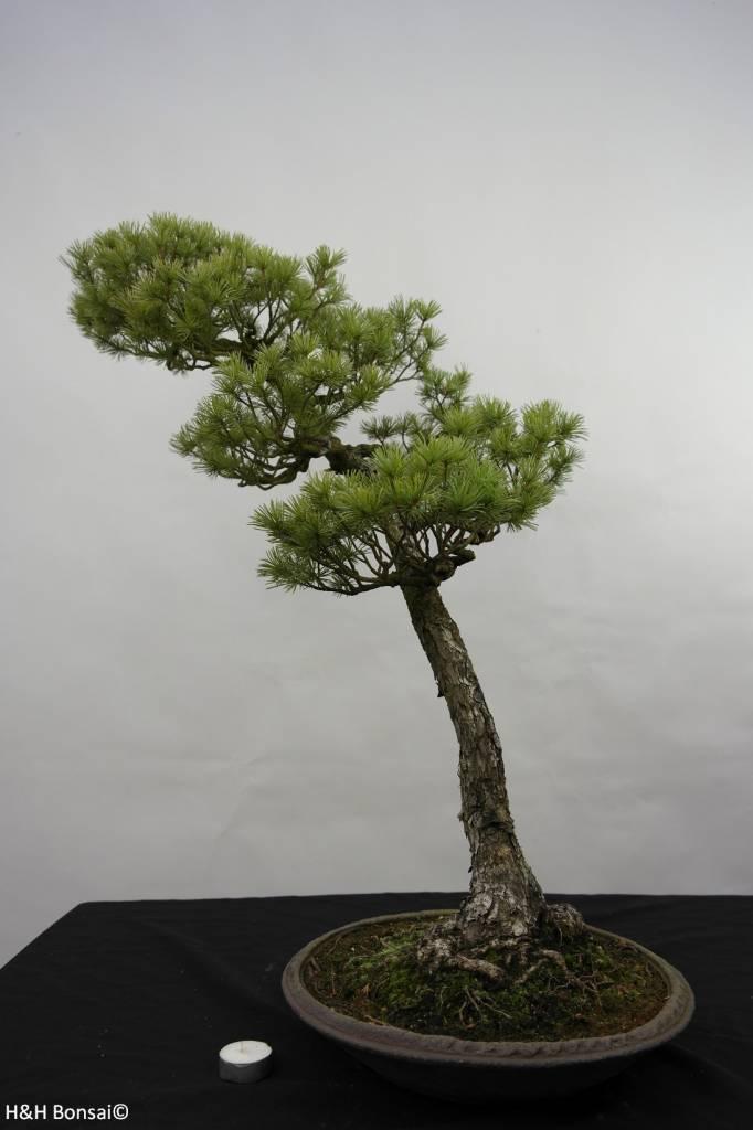 Bonsai Pin blanc du Japon, Pinus pentaphylla, no. 5842
