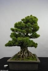 Bonsai Pin blanc du Japon, Pinus pentaphylla, no. 5843