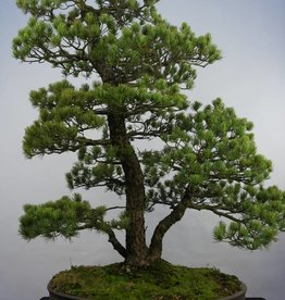 Bonsai Pin blanc du Japon, Pinus pentaphylla, no. 5844