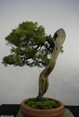 Bonsai Genévrier de Chine, Juniperus chinensis itoigawa, no. 5846