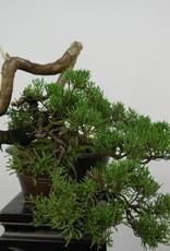 Bonsai Genévrier de Chine, Juniperus chinensis, no. 5858
