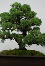 Bonsai Genévrier de Chine, Juniperus chinensis, no. 5863