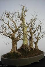 Bonsai Lagerstroemia, nr. 5864