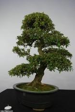 Bonsai Azalea Satsuki, nr. 5865