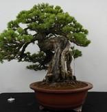 Bonsai Mädchenkiefer, Pinus parviflora, nr. 5894