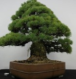 Bonsai White pine, Pinus parviflora, no. 5895