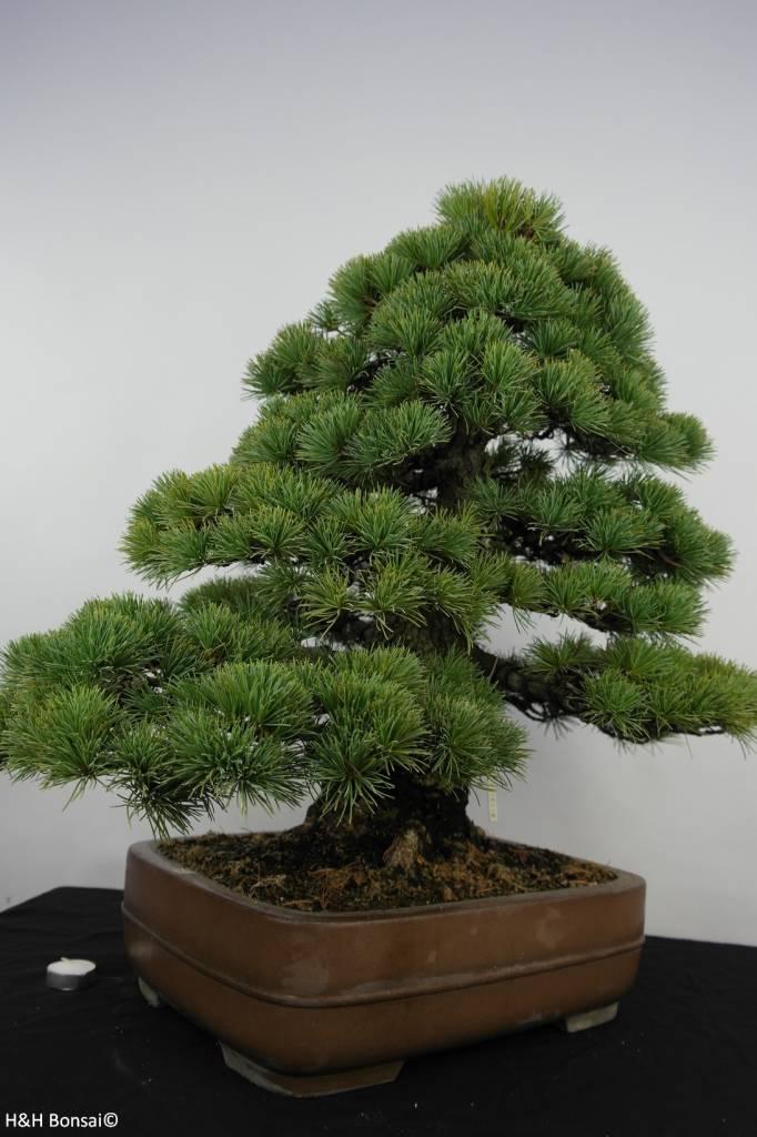 Bonsai Mädchenkiefer, Pinus parviflora, nr. 5895