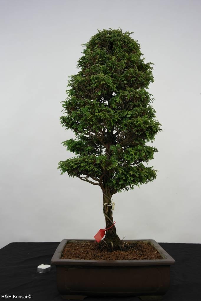 Bonsai Cypress, Chamaecyparis sp. , no. 5898
