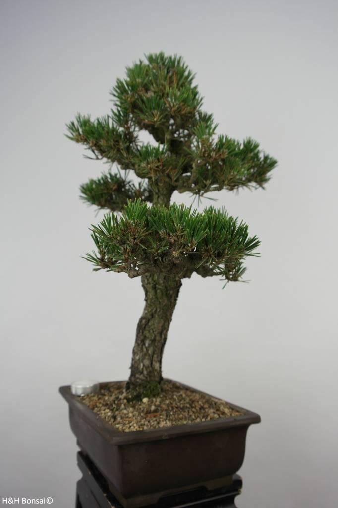 Bonsai Schwarzkiefer kotobuki, Pinus thunbergii kotobuki, nr. 5907