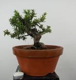 Bonsai Japanische Eibe, Taxus cuspidata, nr. 6017