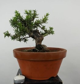 Bonsai Japanese yew, Taxus cuspidata, no. 6017