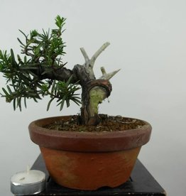 Bonsai Japanese yew, Taxus cuspidata, no. 6018