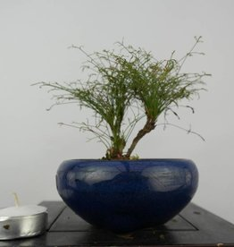 Bonsai Shohin Nandina sp., nr. 6147
