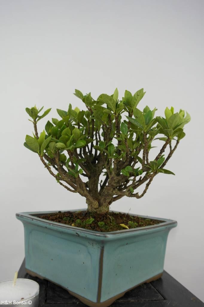Bonsai Shohin Gardenie, Gardenia, nr. 6152