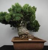 Bonsai White pine, Pinus parviflora, no. 6178